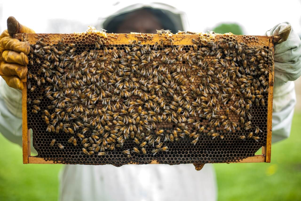 Beekeeper holding beehive full of bees