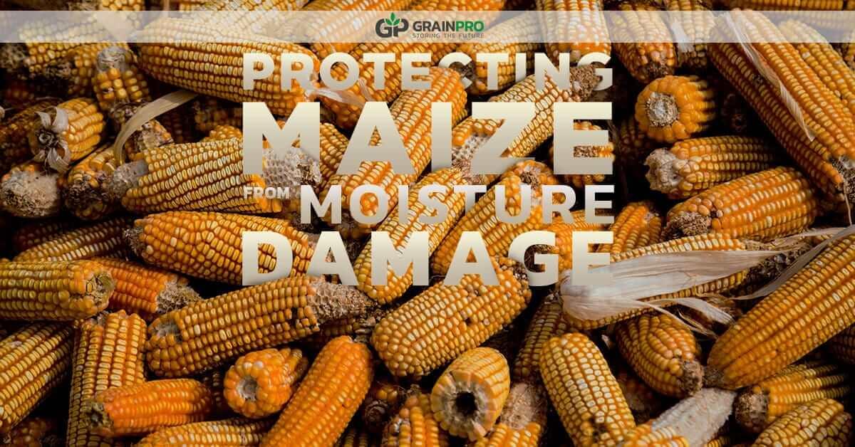 damaged maize