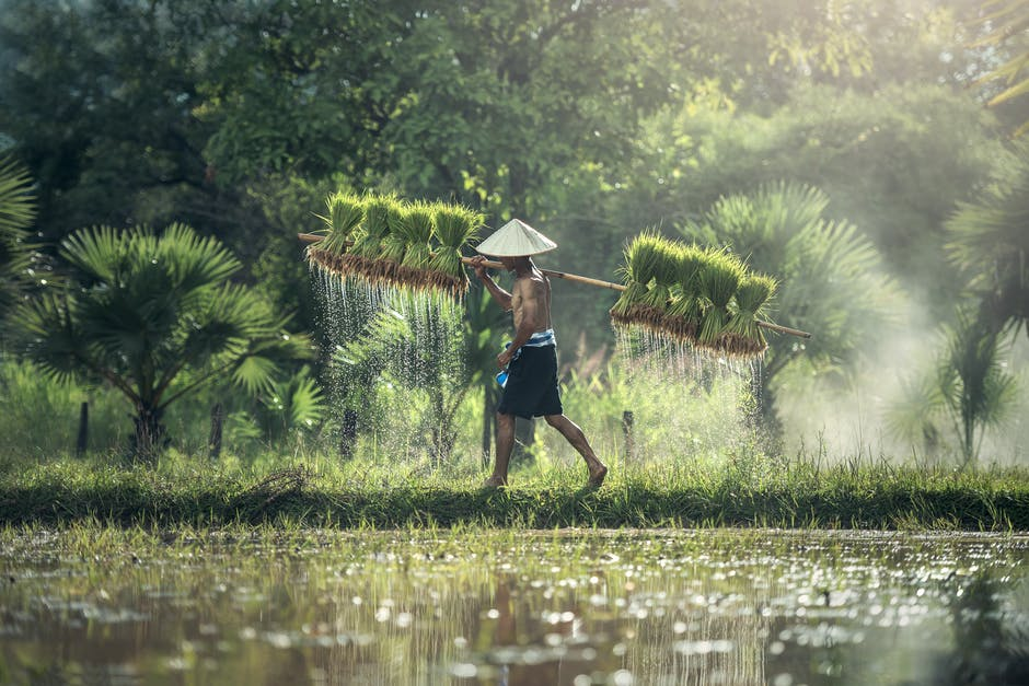 farmer lifting sapling of rice on his back